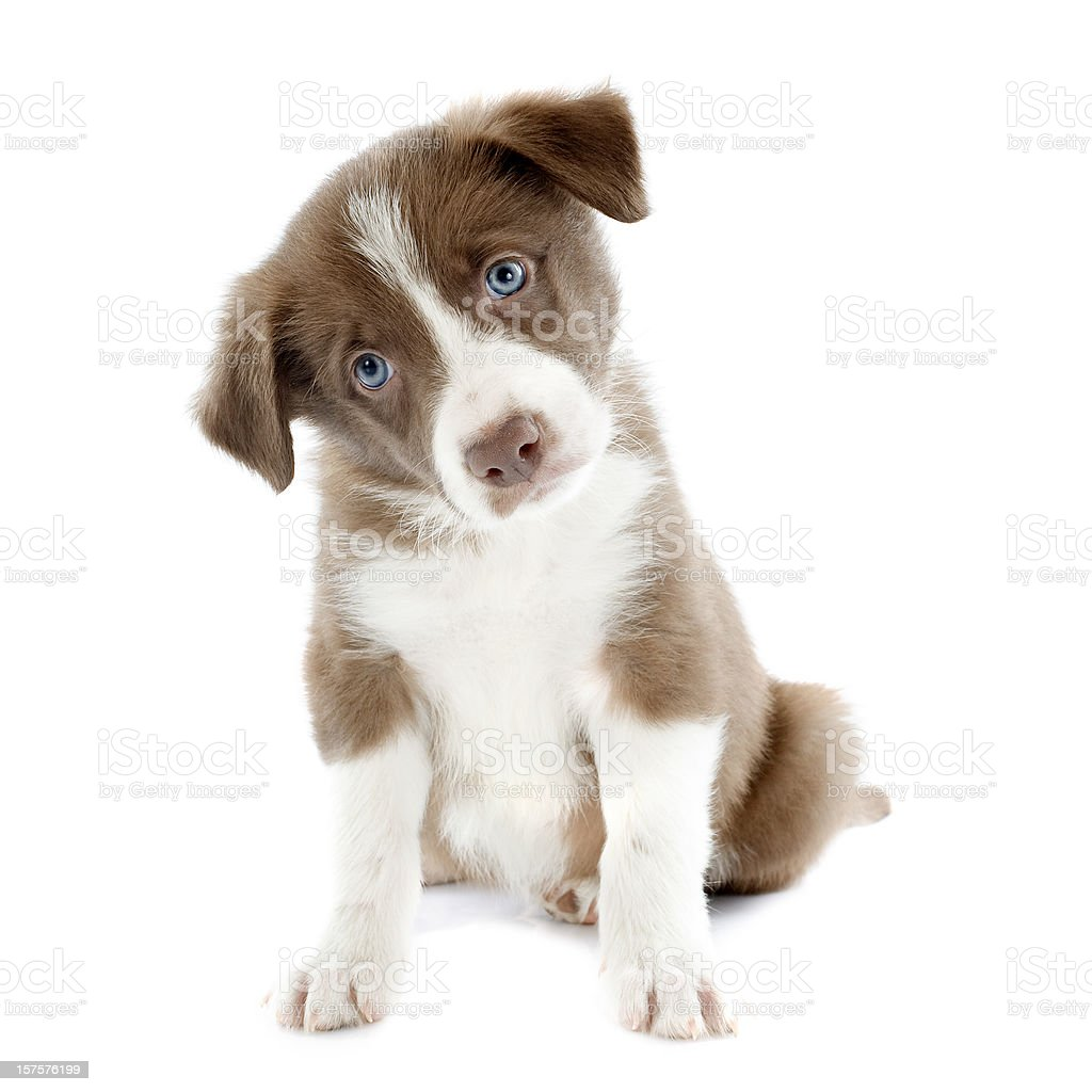 Border Collie puppy cocking its head to one side stock photo