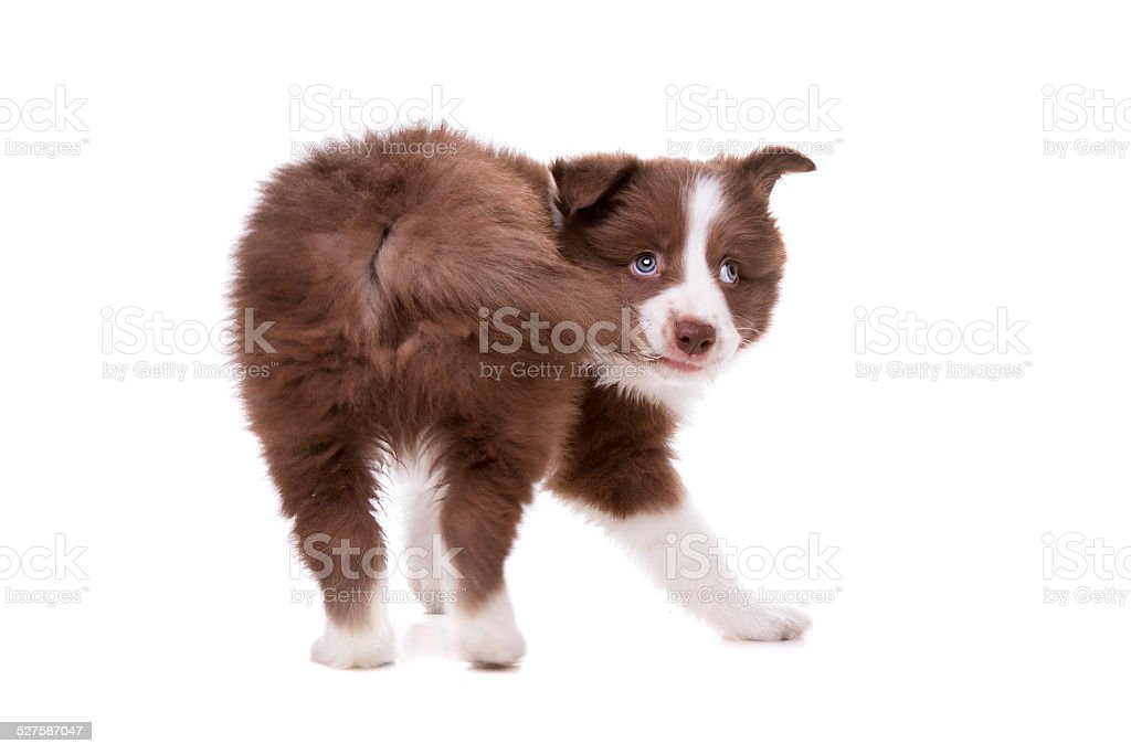 Border Collie puppy dog in front of a white background stock photo