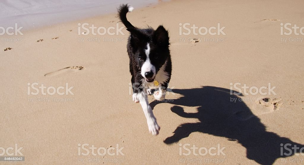 Border Collie Puppy On the Beach stock photo