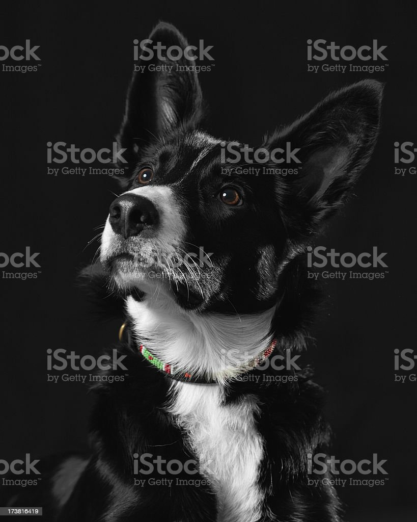 Border Collie Puppy royalty-free stock photo