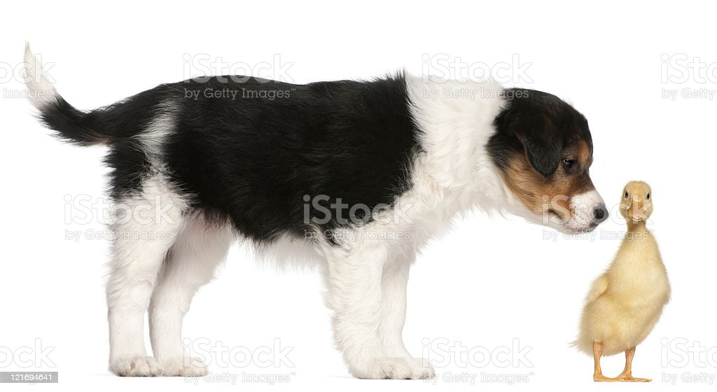 Border Collie puppy, playing with a duckling, white background. royalty-free stock photo