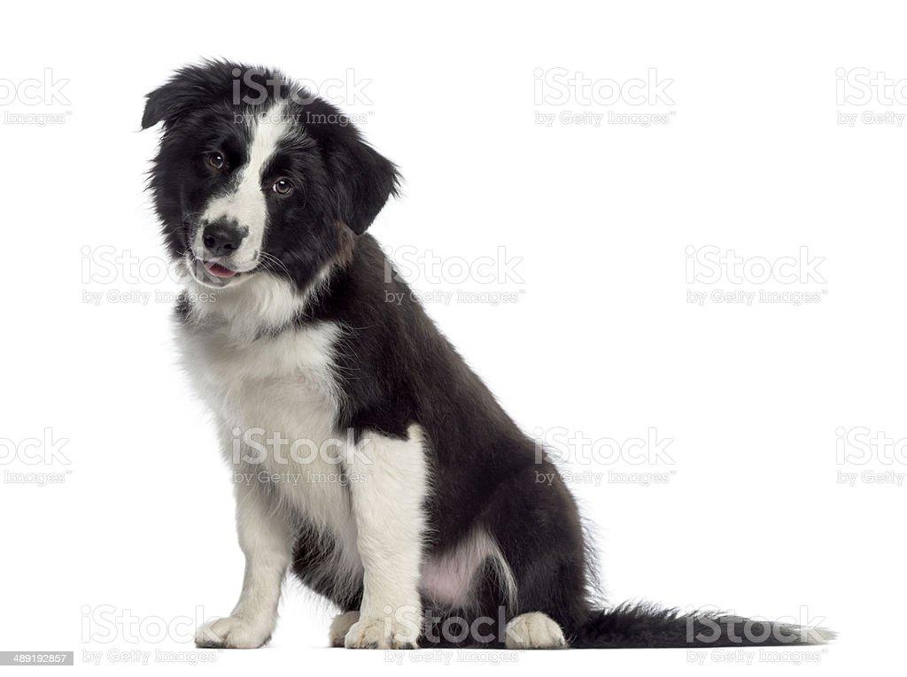 Border Collie puppy sitting (4 months old) stock photo