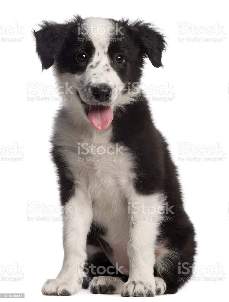 Border Collie puppy, three months old, sitting, white background. stock photo