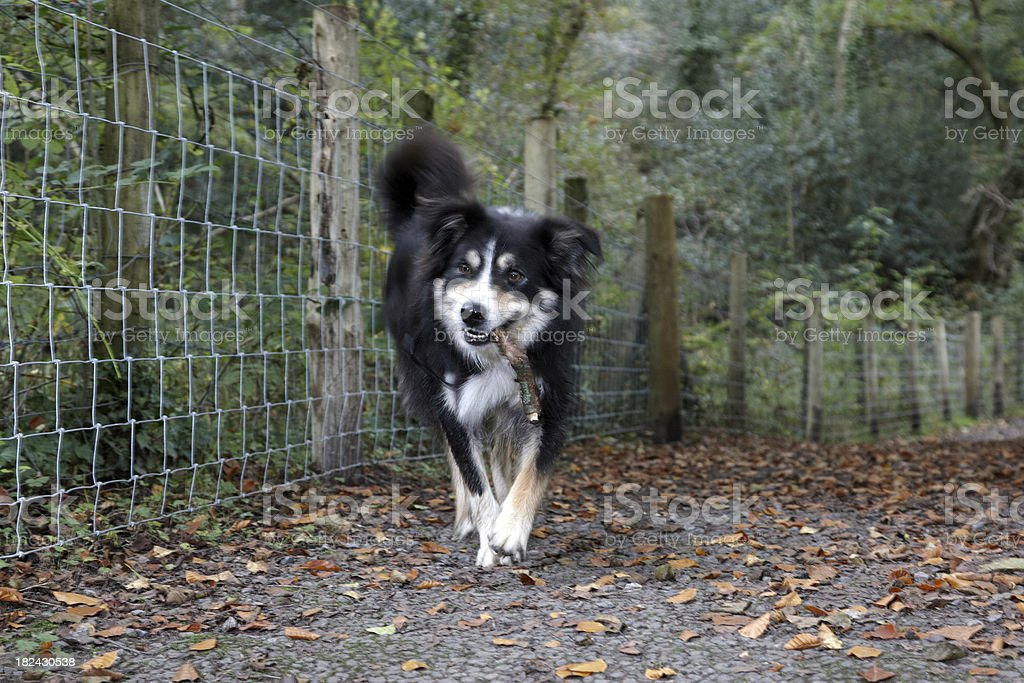 Border collie running blurred motion stock photo