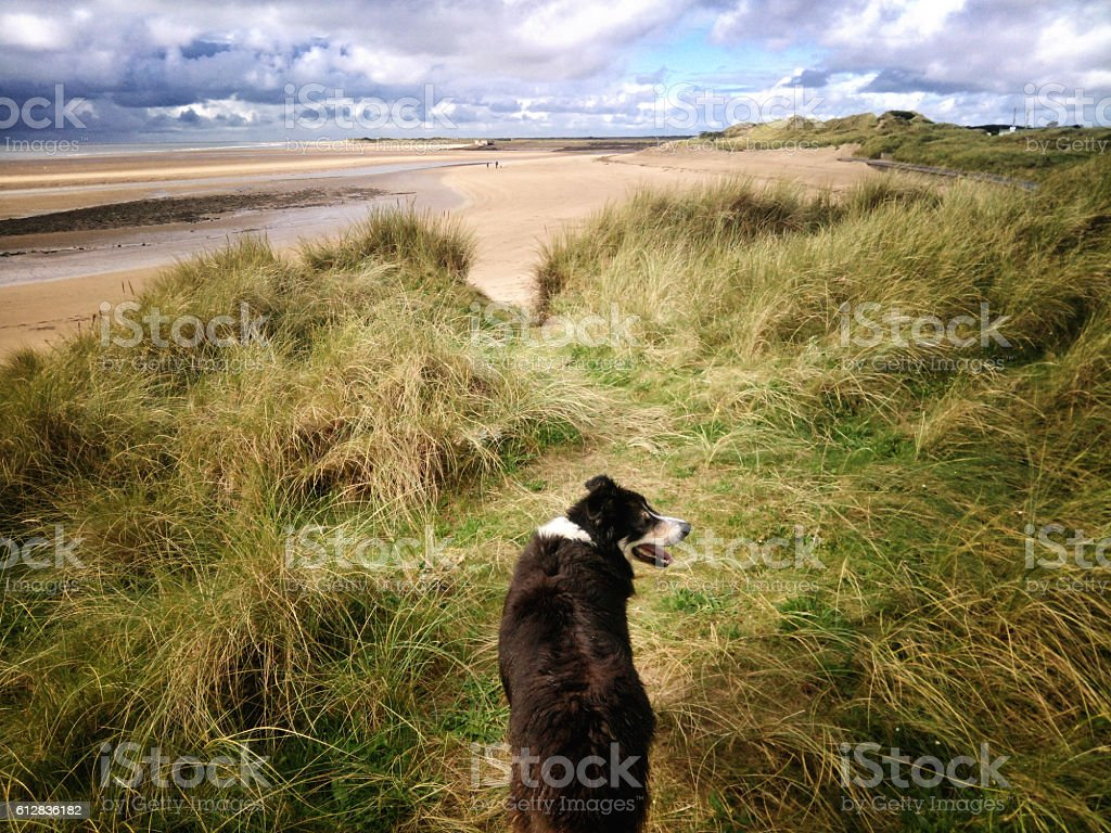 Border collie running in sand dunes stock photo