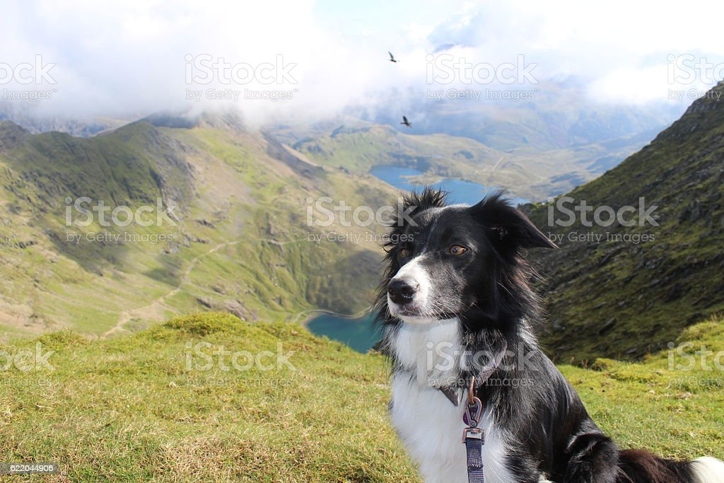 Border Collie Sheep Dog on mountain stock photo