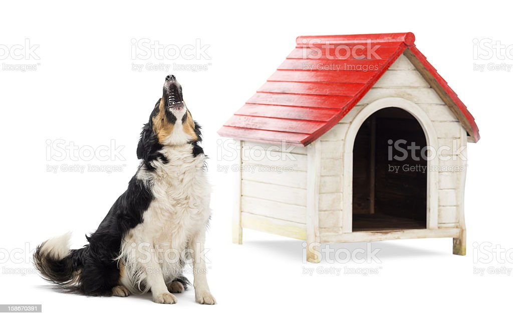 Border Collie sitting and barking next to a kennel stock photo
