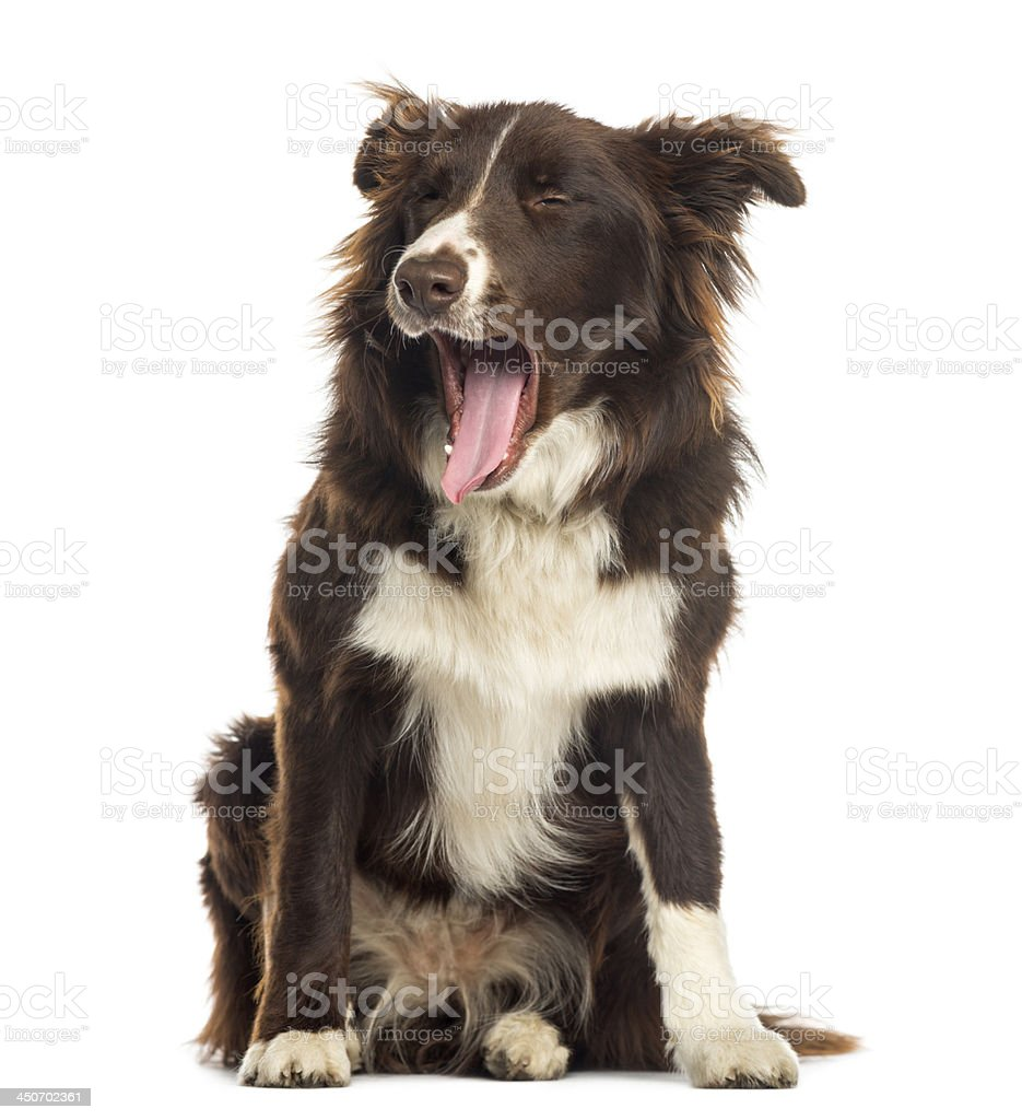 Border Collie sitting, yawning, 9 months old, isolated on white stock photo