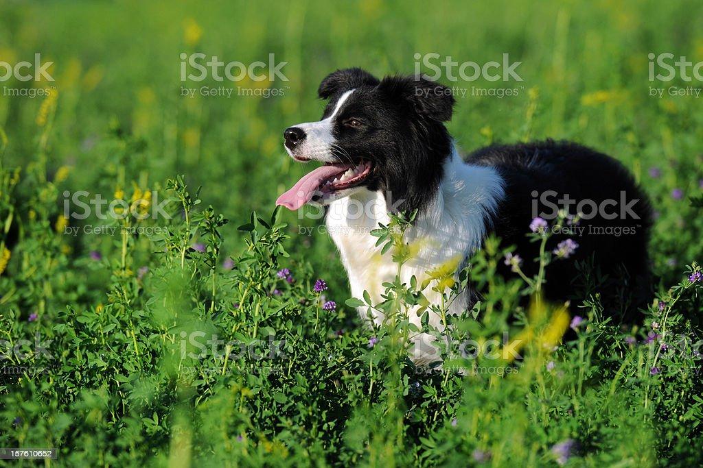 Border Collie, Smart Sheepdog - XLarge stock photo
