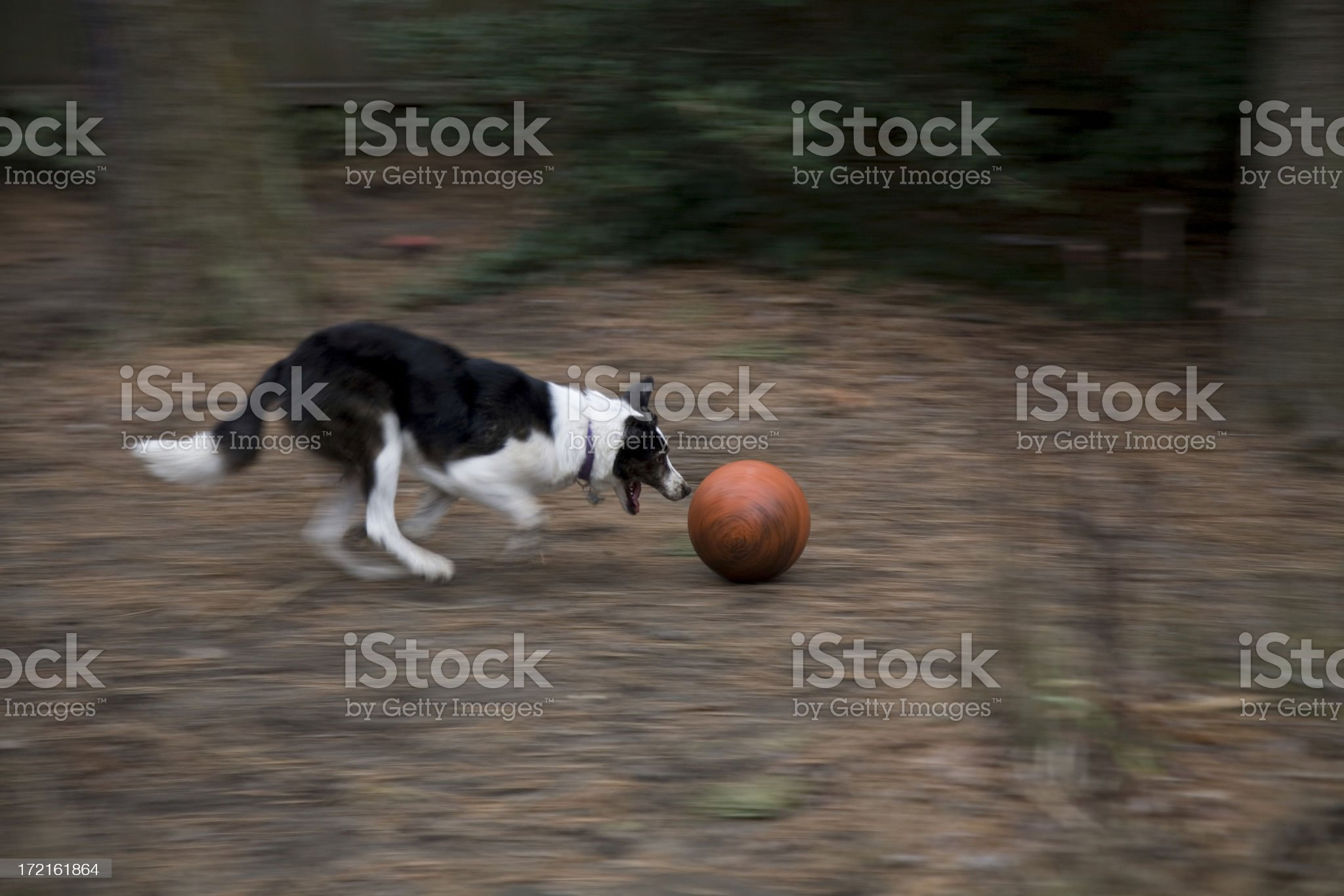 Border Collie Soccer royalty-free stock photo