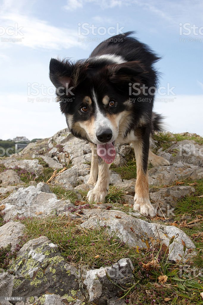 Border collie standing on clifftop stock photo