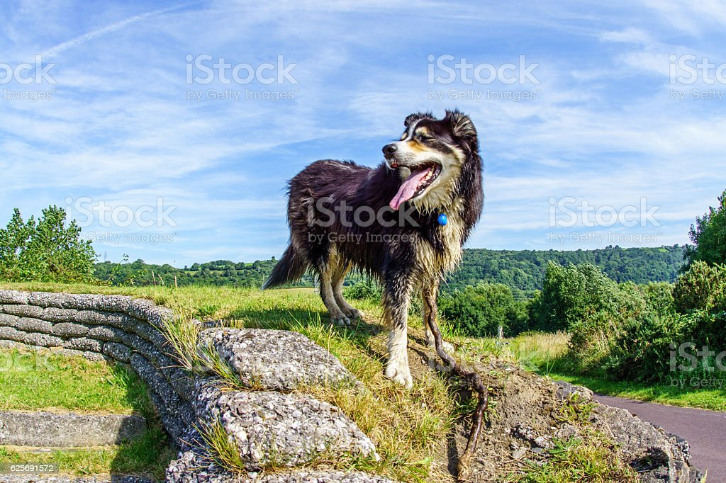 Border collie standing on grassy headland stock photo