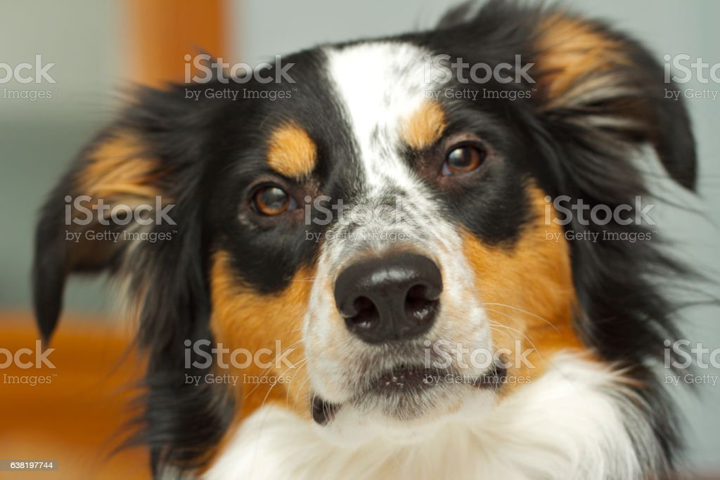 Border Collie stare stock photo