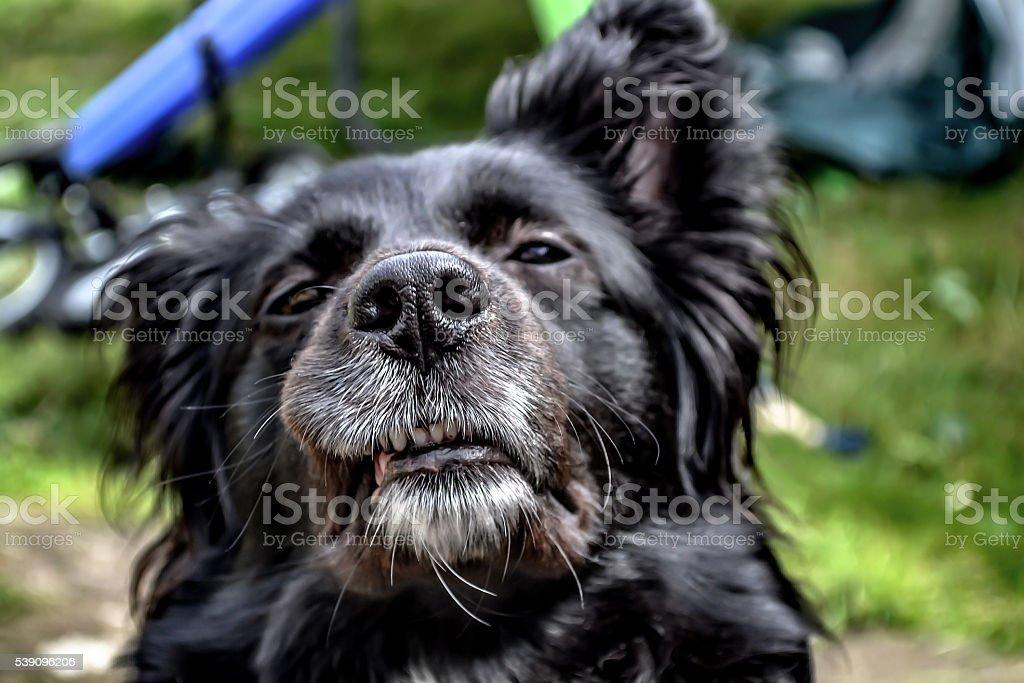 Border Collie staring into camera stock photo