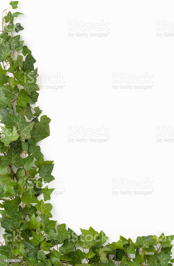 Border - English Ivy on white background stock photo