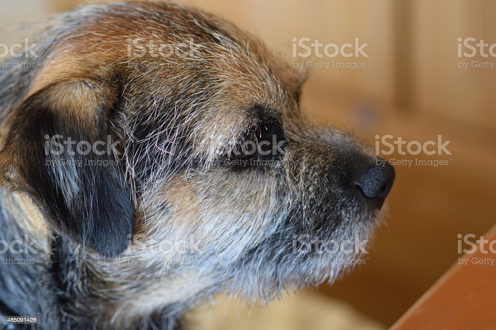Border Terrier dog royalty-free stock photo