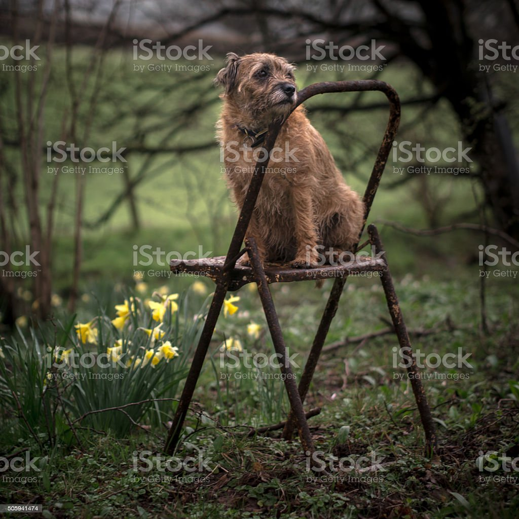 Border Terrier in Forest stock photo