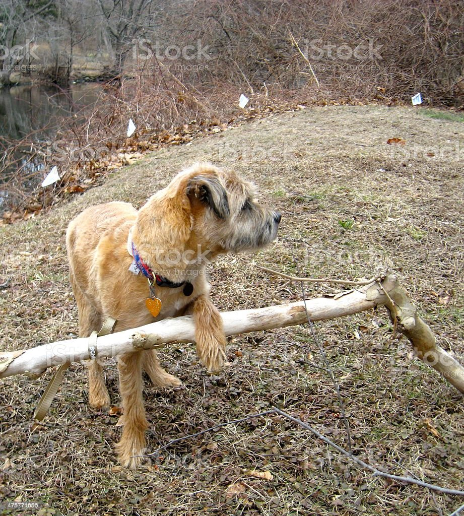 Border Terrier Leaning on Branch stock photo