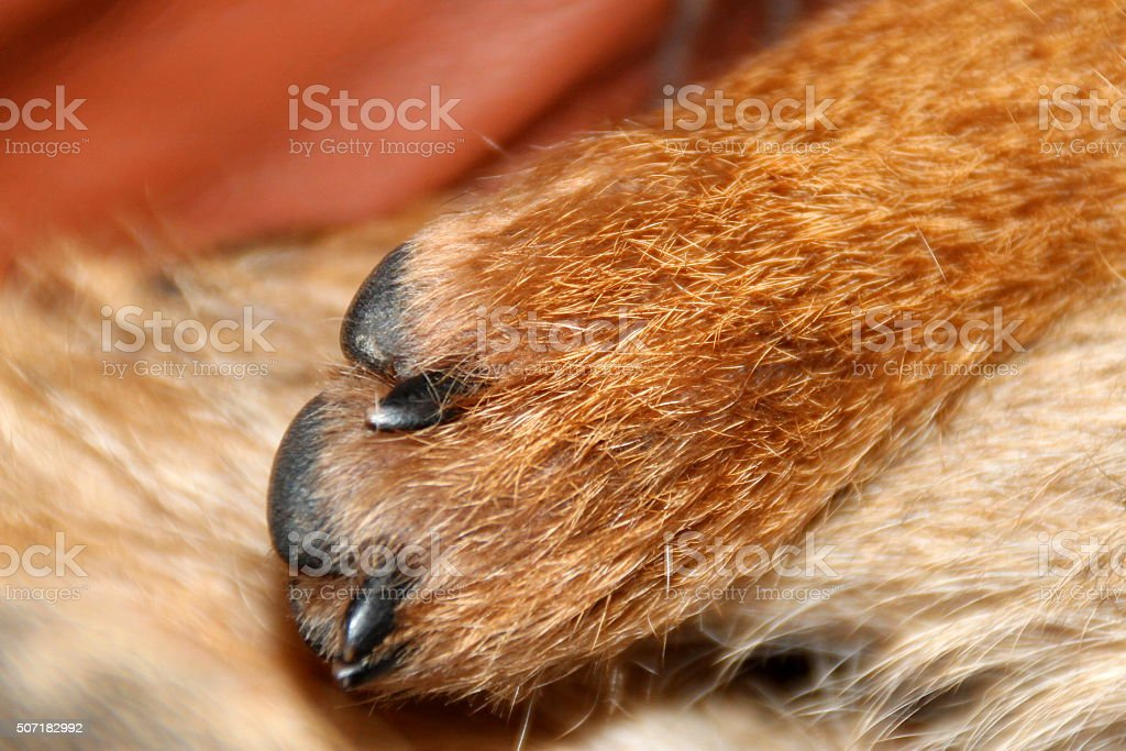 Border Terrier paw topside pads nails fur Close up stock photo