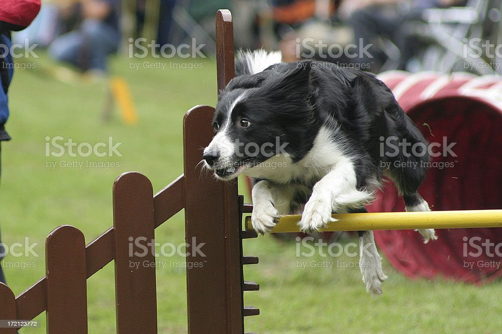 Bordercollie in competition royalty-free stock photo
