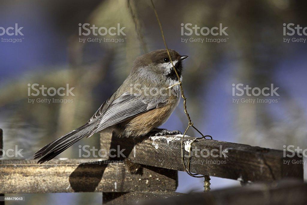 Boreal Chickadee on railing stock photo