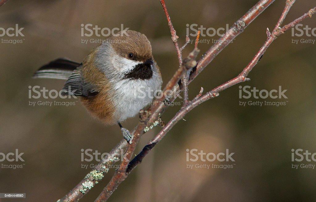 Boreal Chickadee stock photo