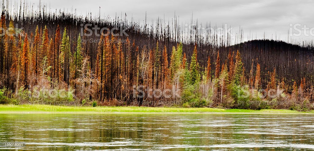 Boreal forest at Yuokon River destroyed by fire royalty-free stock photo