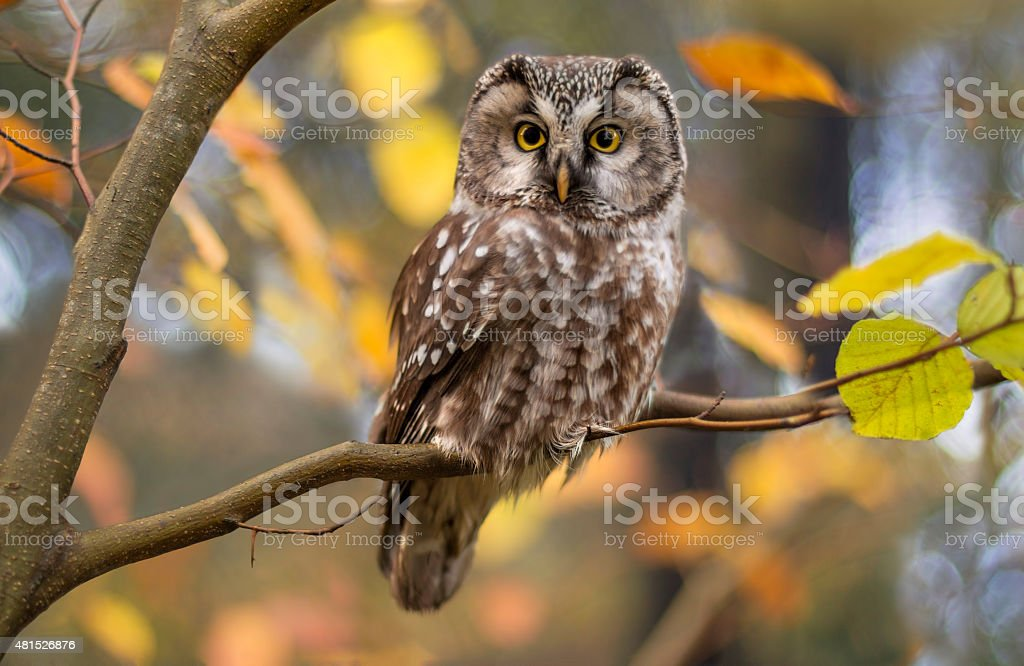 Boreal owl in autumn leaves stock photo