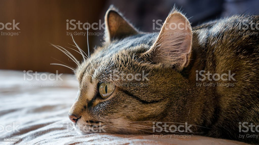Aborrecido Gato foto de stock royalty-free