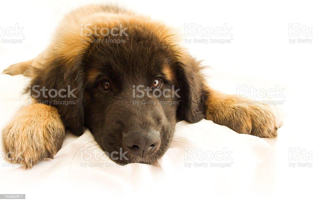 Bored little puppy stock photo
