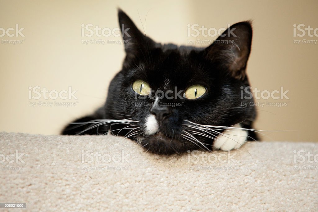 Bored Tuxedo Cat stock photo