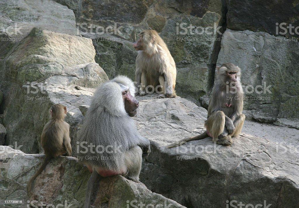 Boring baboon meeting in Berlin Zoo stock photo