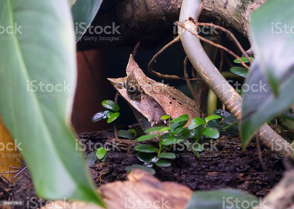 Bornean Horned Frog stock photo