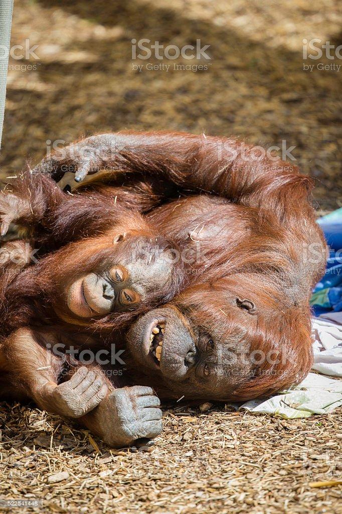 Bornean Orangutam Mother and Child Cuddling stock photo
