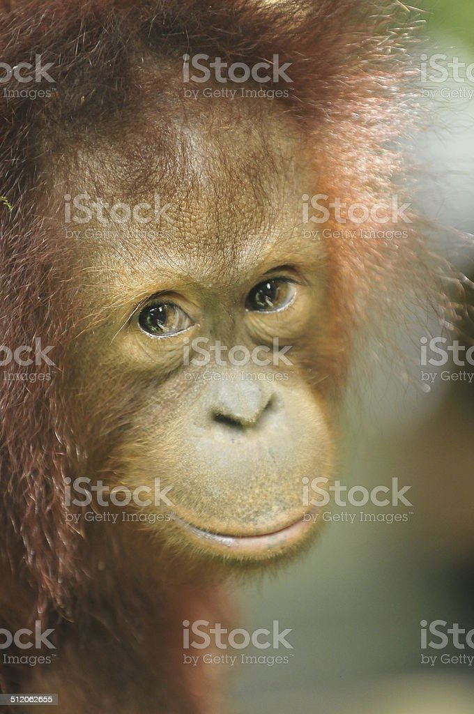 Bornean Orangutan in Sabah, Borneo stock photo