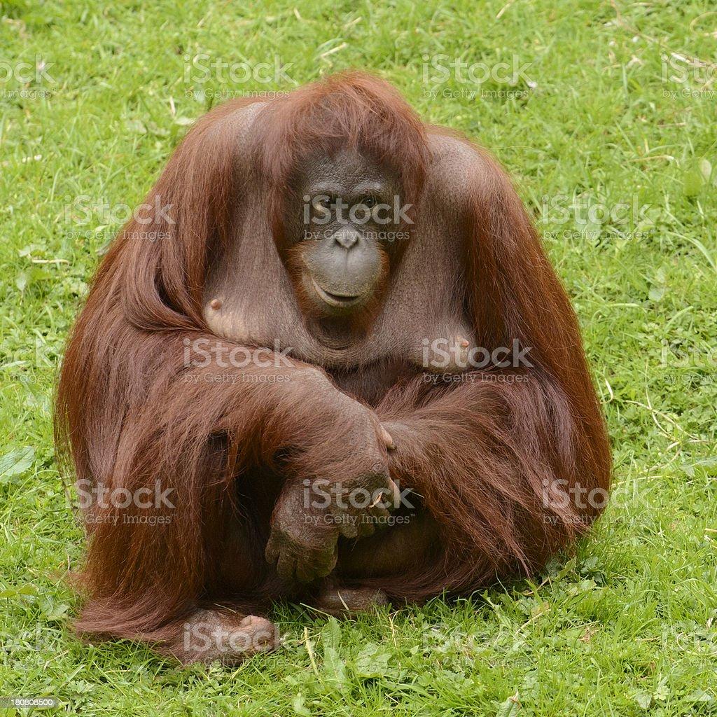 Bornean Orangutan royalty-free stock photo