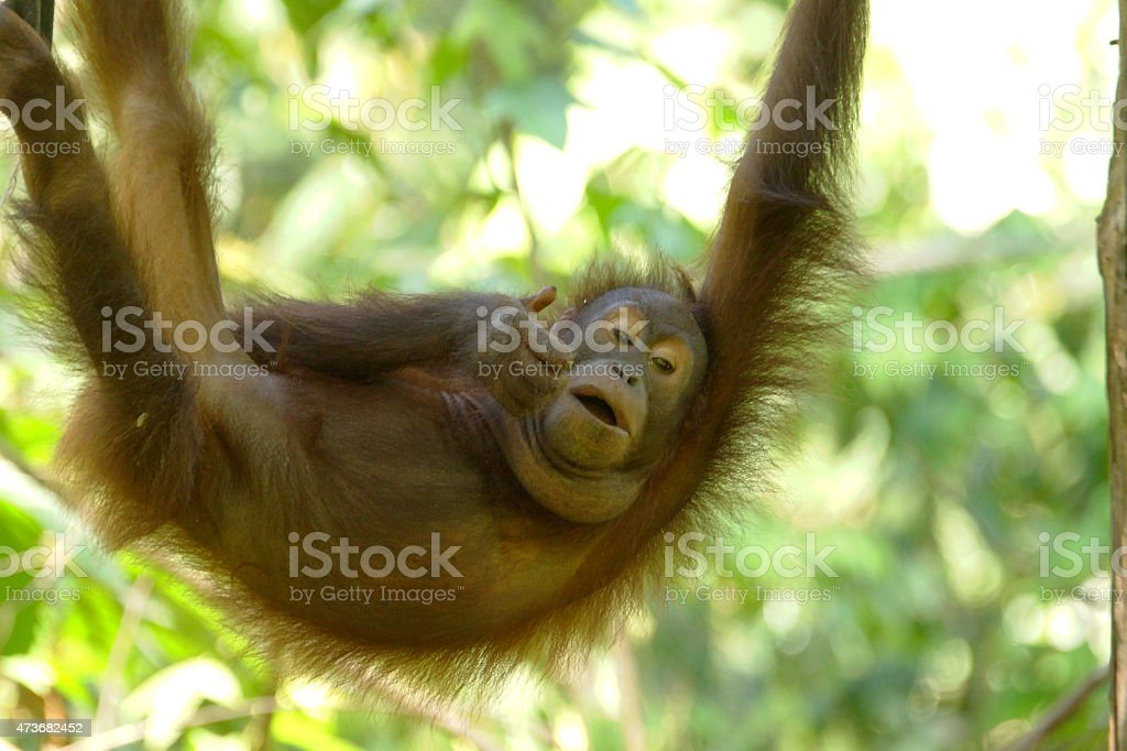 Bornean Orangutan stock photo