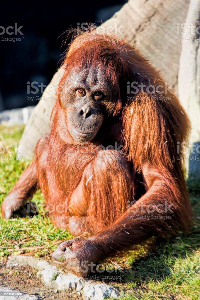 Bornean orangutan Pongo o pygmaeus stock photo