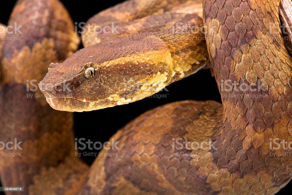 Bornean pit viper (Trimeresurus borneensis ) stock photo
