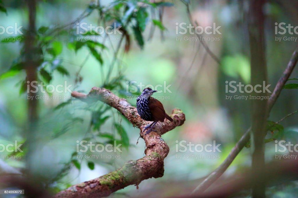 Bornean wren-babbler (Ptilocichla leucogrammica) in Malaysia stock photo
