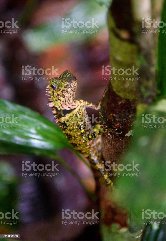 Borneo Anglehead Lizard stock photo