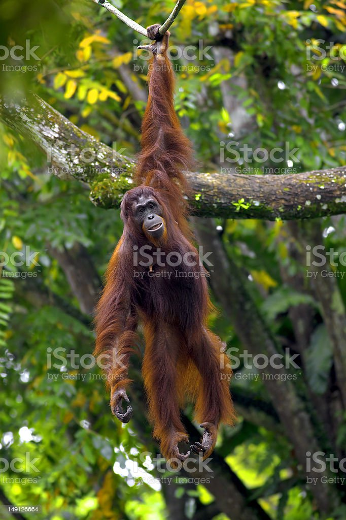 Borneo orangutan hanging from tree with one arm stock photo