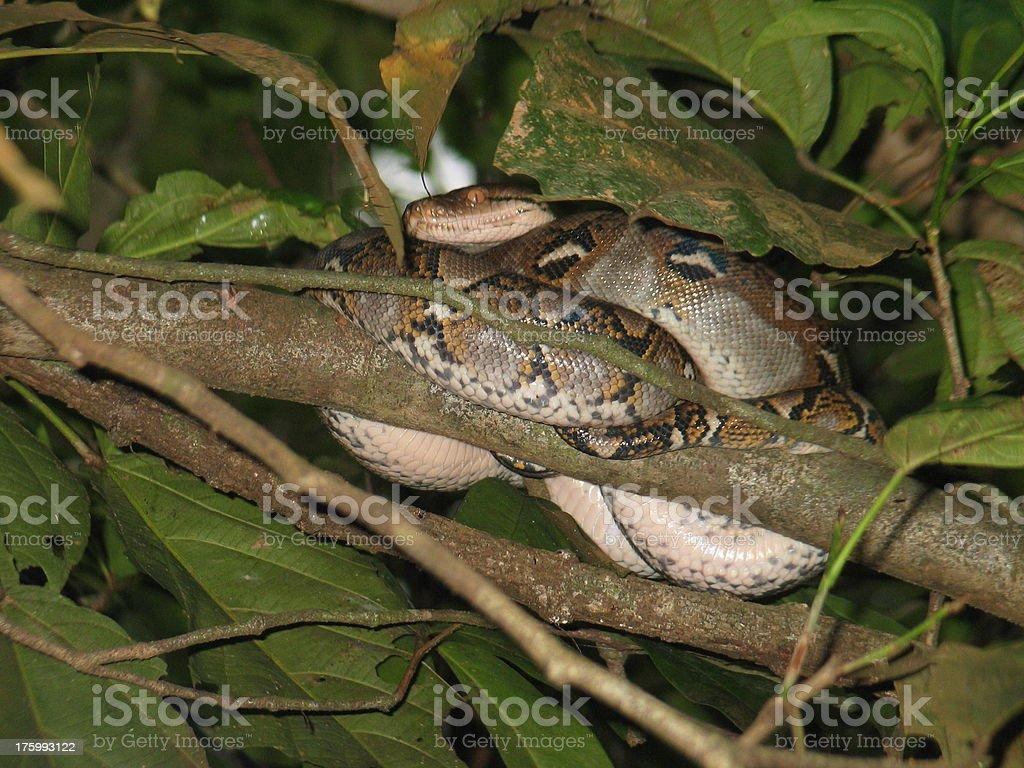 Borneo Reticulated Python royalty-free stock photo