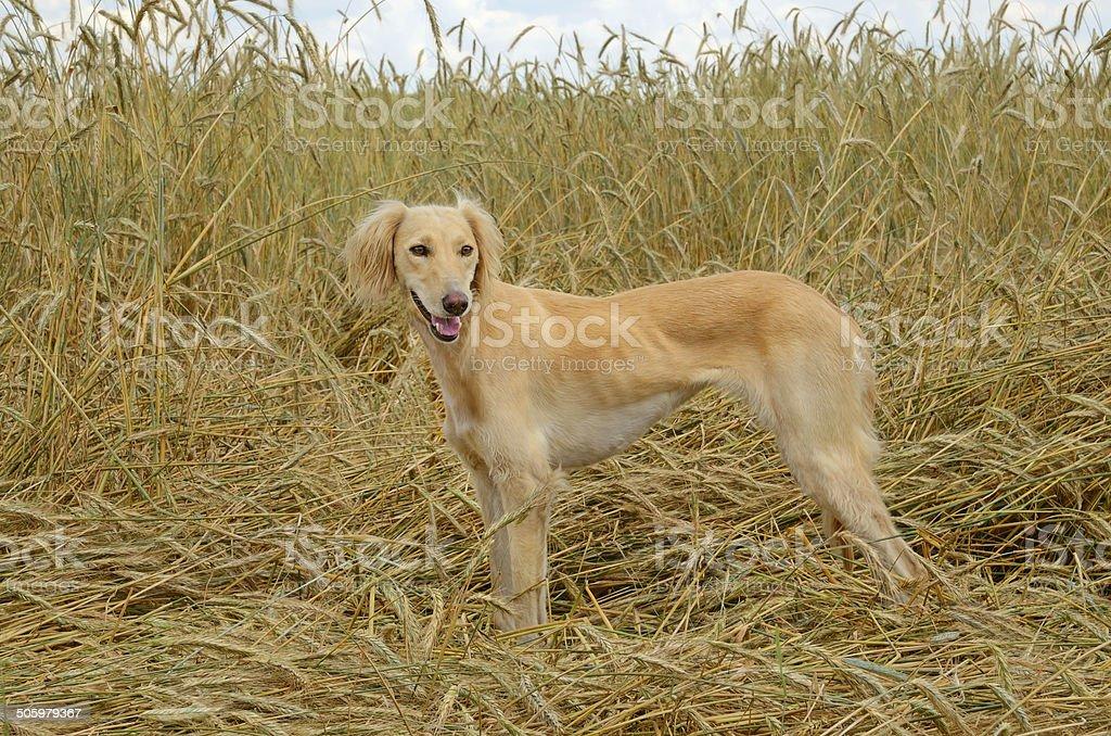 Borzoi dog stock photo