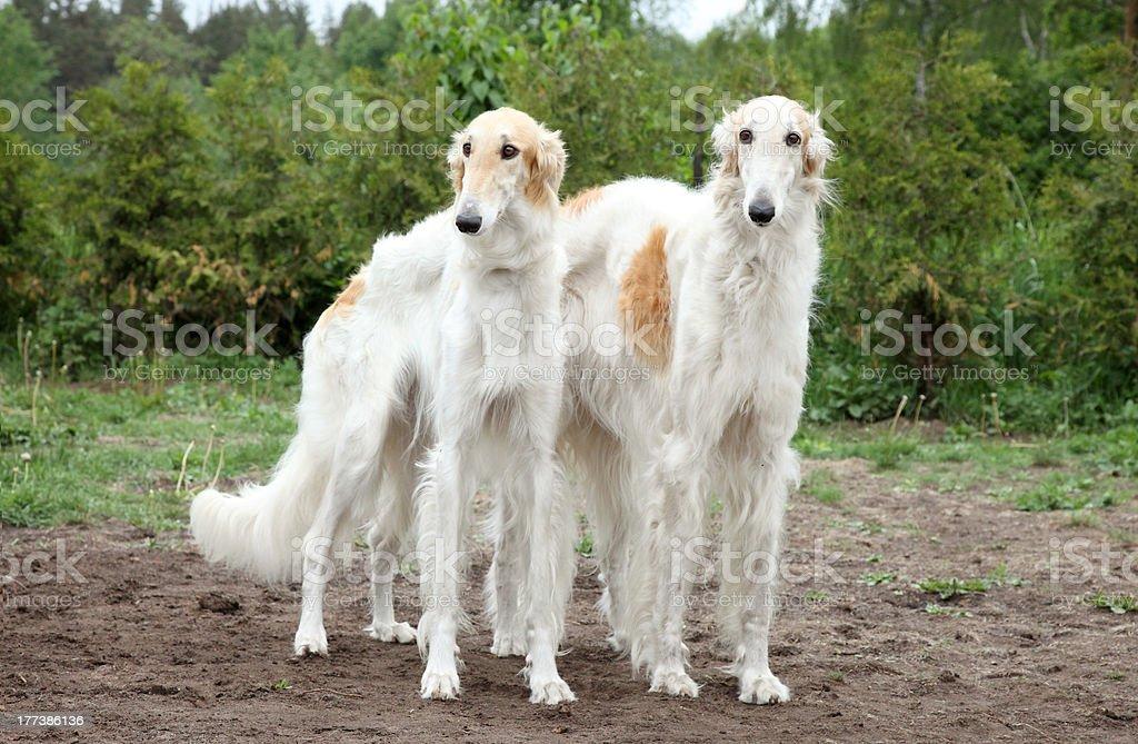 Borzoi hounds stock photo