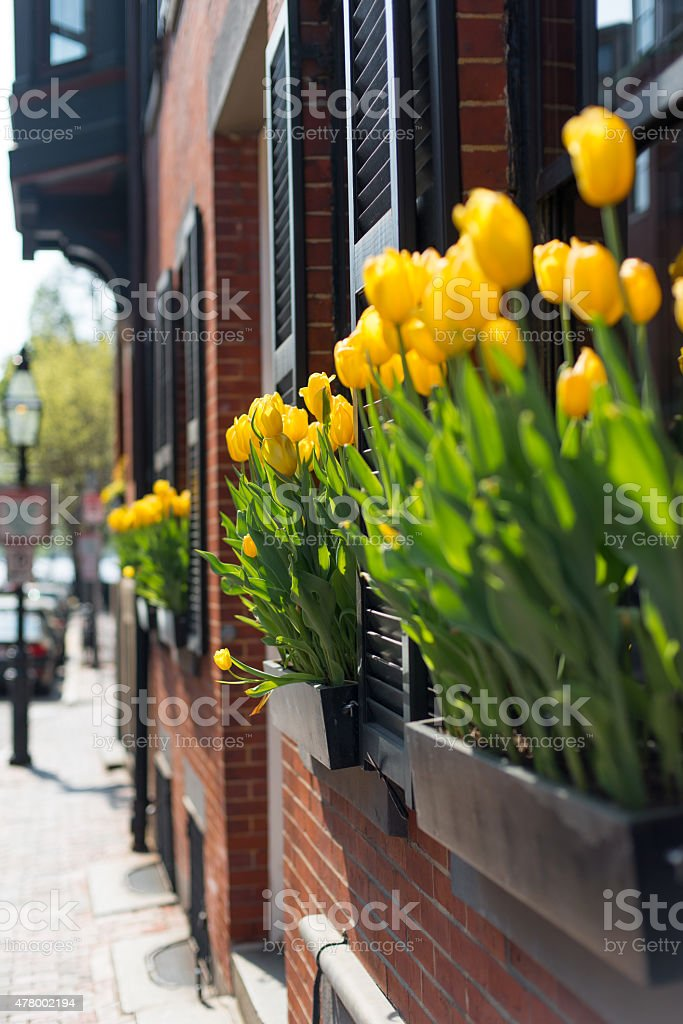 Boston Brownstone Summer Tulips stock photo