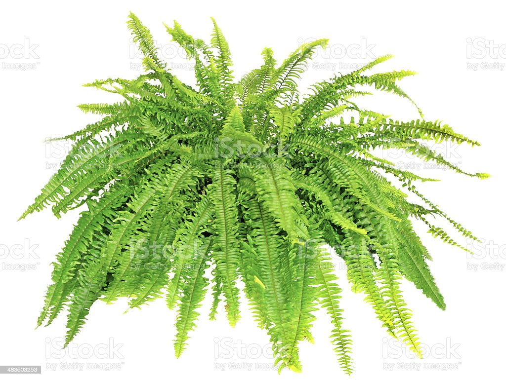 Boston Compacta Fern Isolated on White stock photo