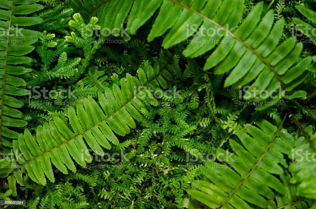 Boston Fern stock photo
