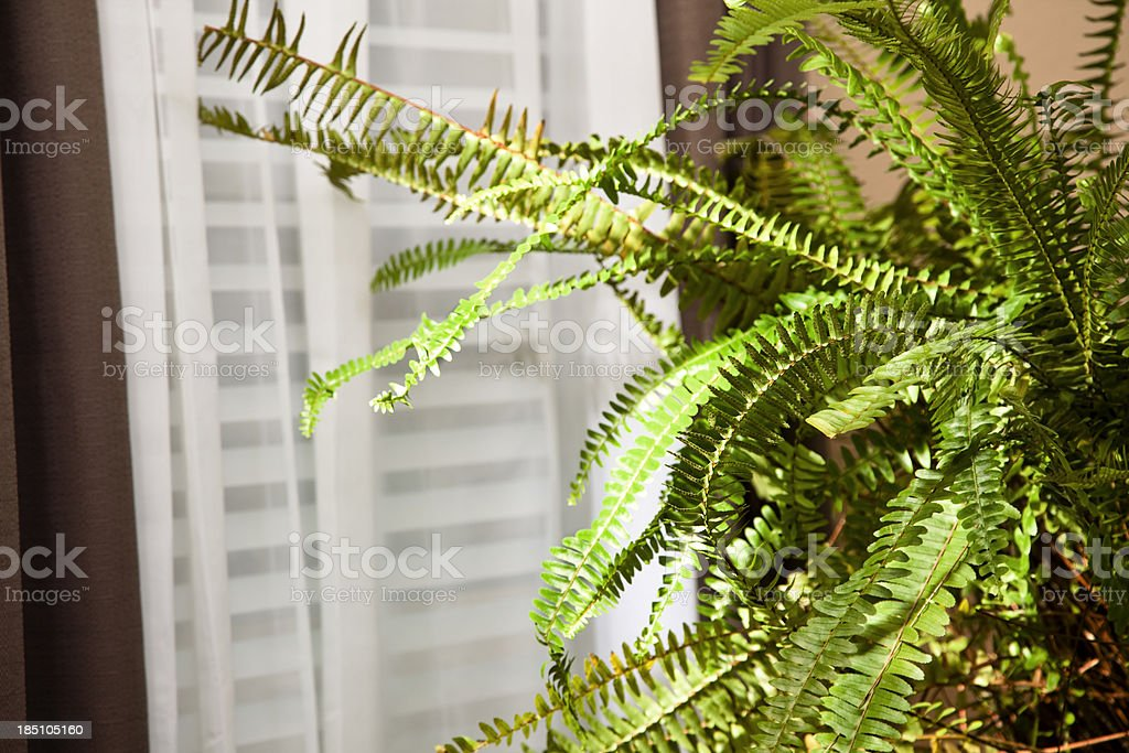 Boston fern sitting near window stock photo
