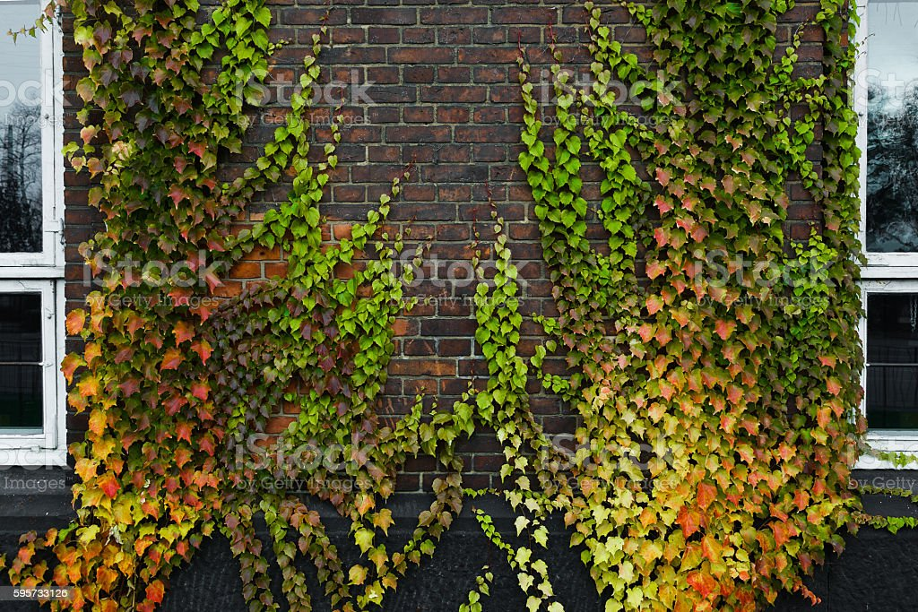 Boston ivy growing on concrete wall in autumn stock photo
